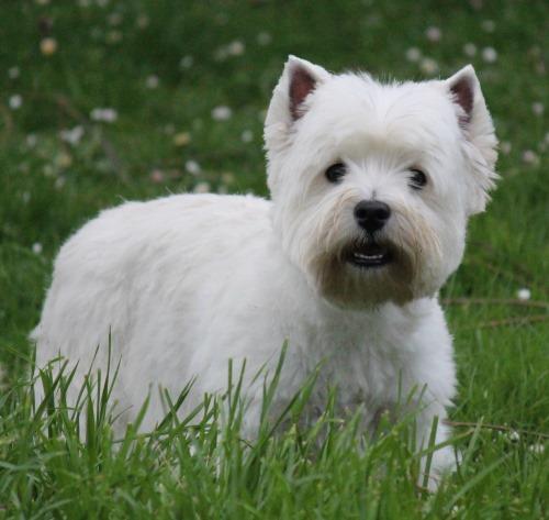 Devnik Westies - Breeders of Quality West Highland White