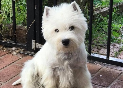Devnik Westies - Breeders of Quality West Highland White